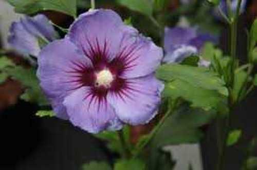 Hibiscus syriacus 'Marina' (Oiseau Blue) (Rose of Sharon)