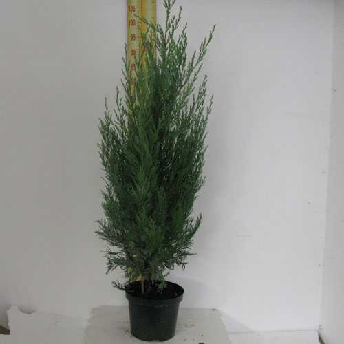 Juniperus Scopulorum Moonglow (Rocky Mountain Juniper)