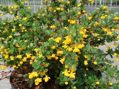 Berberis Buxifolia 'Nana'