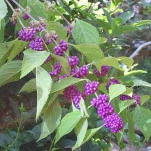 Callicarpa Bodinieri 'Profusion' Beauty Berry