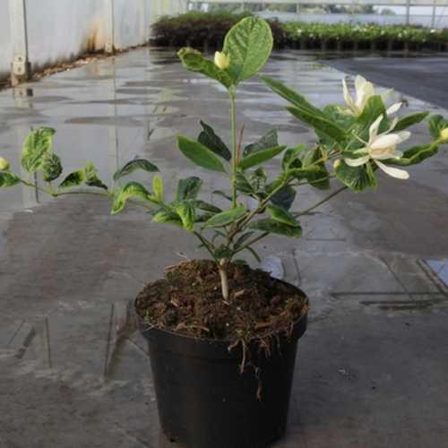 Calycanthus Floridus Venus Sweetshrub