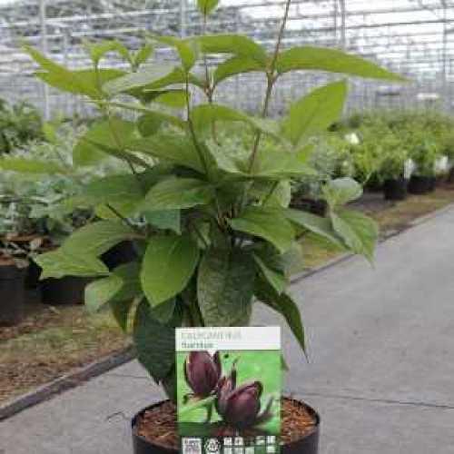 Calycanthus Floridus Carolina Sweetshrub