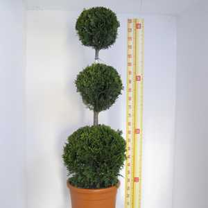 Cupressocyparis Leylandii Castlewellan Gold (Triple Ball Conifer) 125cm 18.5Ltr