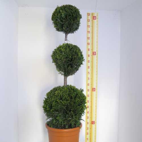 Cupressocyparis Leylandii Castlewellan Gold (Triple Ball Conifer) 130cm 18.5Ltr