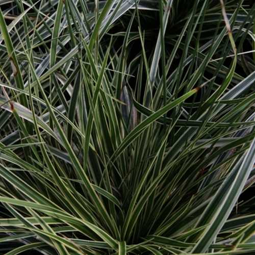 Carex Morrowii 'Fishers Form' 10Ltr