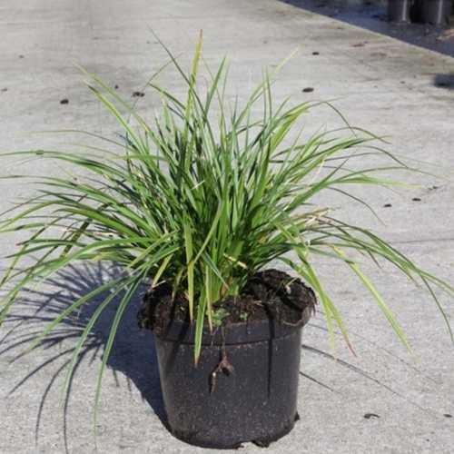 Carex Morrowii Variegata 3.5Ltr