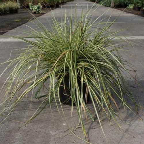 Carex Oshimensis Evergold Ornamental Grass