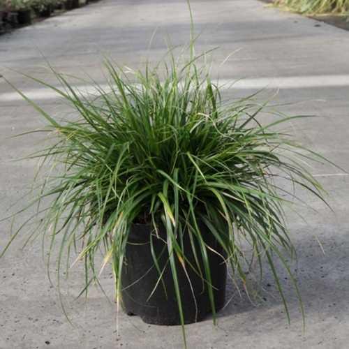 Carex Oshimensis EVERDI 3.5Ltr