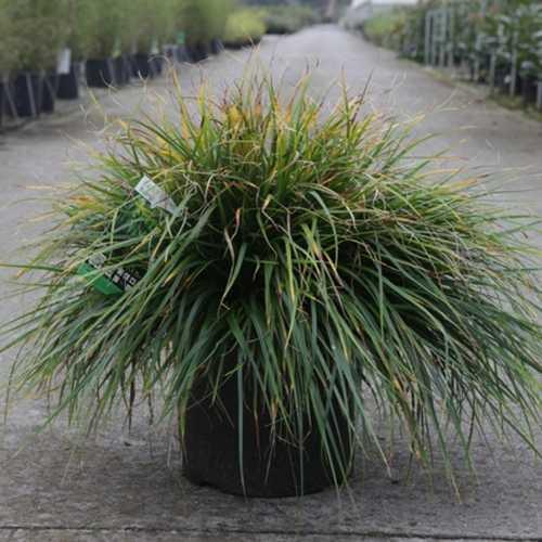 Carex Oshimensis EVERDI 10Ltr