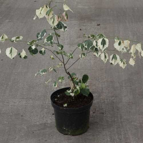 Cercis Canadensis 'Silver Lining' 7.5Ltr 50-60cm