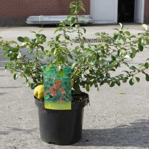 Chaenomeles Japonica Sargentii (Flowering Quince) 3.5Ltr 40cm+