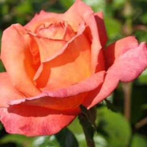Rose Bush Alexander Hybrid Tea 4ltr