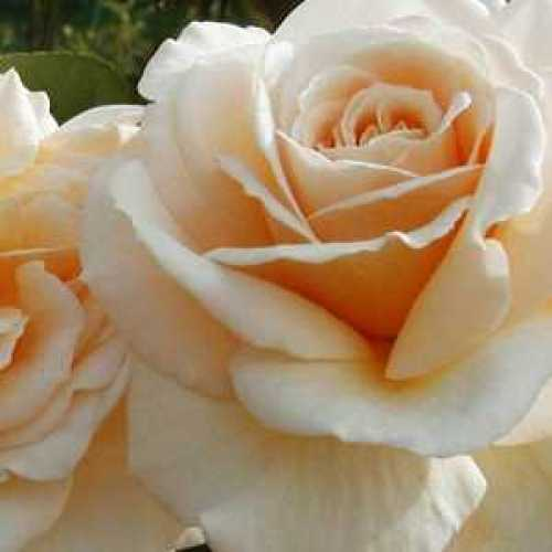 Rose Bush Champagne Moment Floribunda 4Ltr