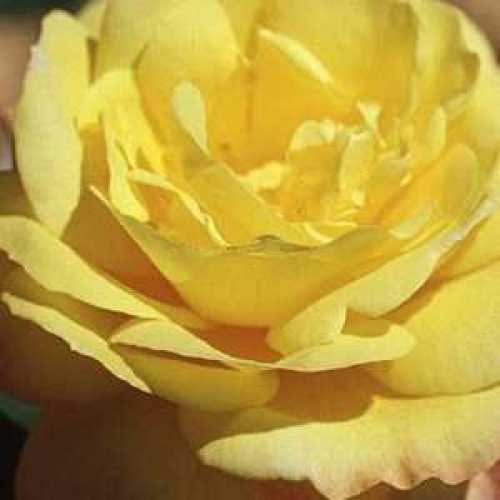 Rose Bush Chinatown Floribunda 4Ltr