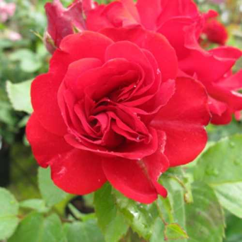 Rose Bush Evelyn Fison Floribunda 4Ltr