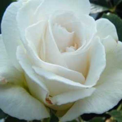 Rose Bush Margaret Merril Floribunda 4ltr