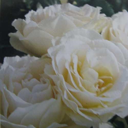 Margaret Merril Floribunda Rose