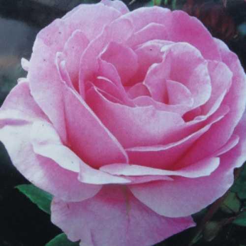 Queen Elizabeth Floribunda Rose