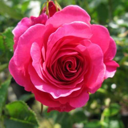 Rose Climbing Starlight Express 4ltr