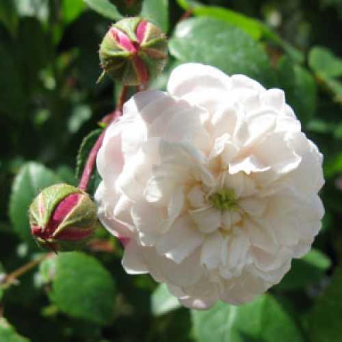 Rose Patio/Miniature Little White Pet 4ltr
