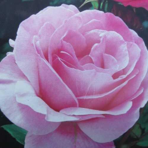 Queen Elizabeth Climbing Rose