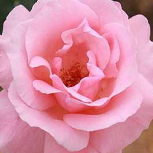 Rose Climbing Queen Elizabeth 4ltr
