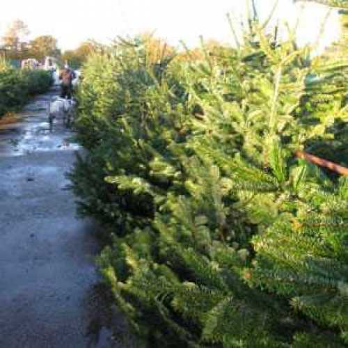 Nordman Non-drop Christmas Xmas Tree 6-7ft 175cm - 200cm