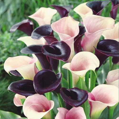 Calla Lily Zantedeschia Simple Elegance Pack of 3 Bulbs