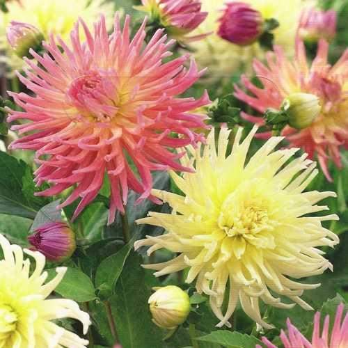Dahlia Cactus Star Surprise 3 Per Pack