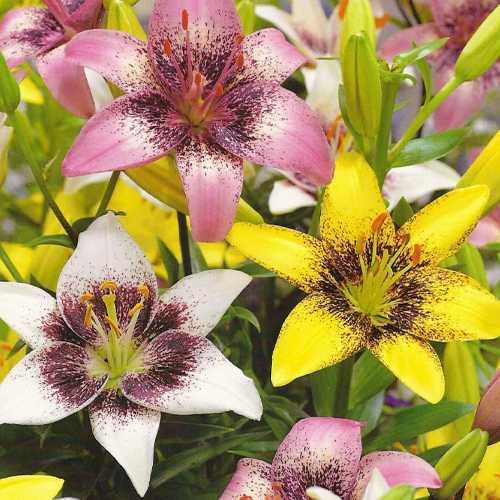 Lilium Asiatic Pixels Mixed 5 Per Pack