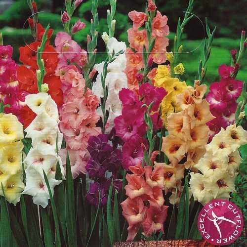 Gladiolus Garden Mixture 50 Per Pack