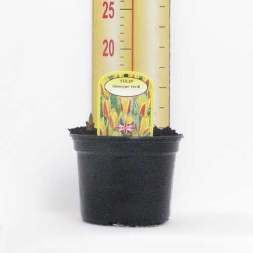 Tulip 'Guiseppe Verdi' Potted Bulbs 13cm