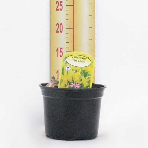 Narcissus 'Tete-a-Tete' Potted Bulbs 13cm