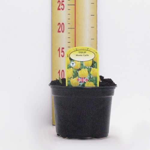 Tulip 'Monte Carlo' Potted Bulbs 13cm