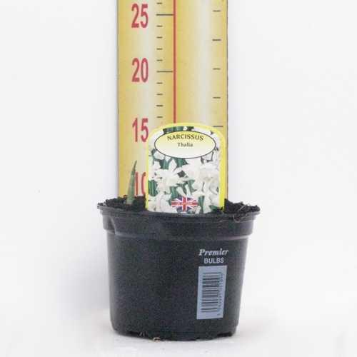 Narcissus 'Thalia' Potted Bulbs 13cm Pot