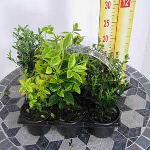 Shrubs Mixed Varieties 6 per Tray