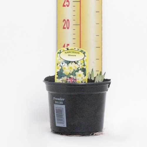 Narcissus 'Minnow' Potted Bulbs 13cm Pot