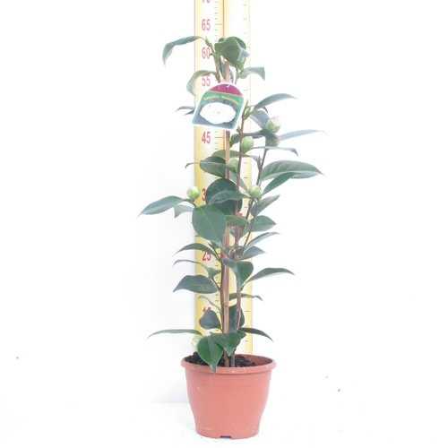 Camellia Japonica Bonomiana 14cm Pot