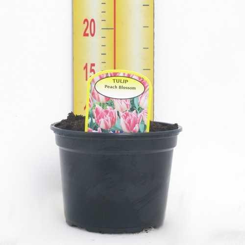 Tulip 'Peach Blossom' Potted Bulbs 13cm