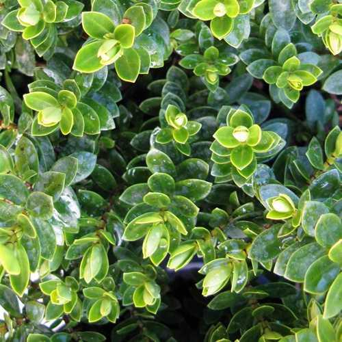 Cheap Hebe Margaret Plants Online Order Hebe Plants
