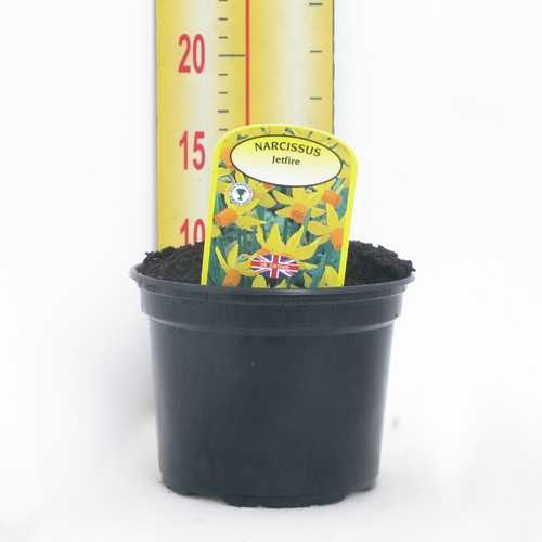 Narcissus 'Jetfire' Potted Bulbs 13cm