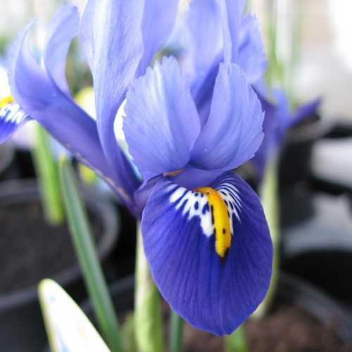 Iris 'Harmony' Potted Bulbs 13cm