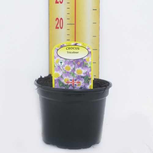 Crocus Sieberi 'Tricolour' Potted Bulbs 13cm