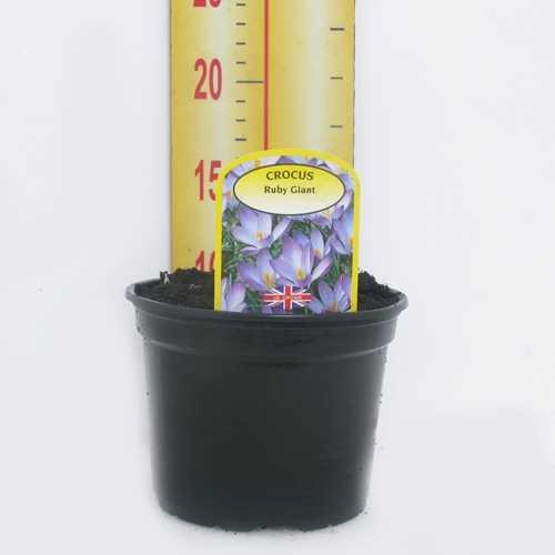 Crocus 'Ruby Giant' Potted Bulbs 13cm