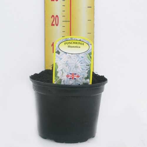 Puschkinia Libanotica Potted Bulbs 13cm