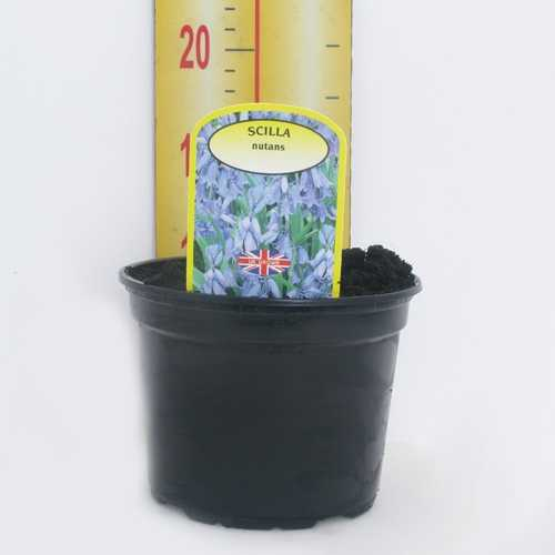 Scilla Nutans 'English Bluebell' Potted Bulbs 13cm