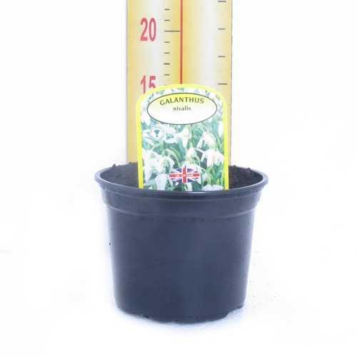 Galanthus Nivalis Single Snowdrop Potted Bulbs 13cm