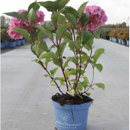 Hydrangea Macrophylla Endless Summer Bloomstar