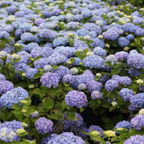 Hydrangea Macrophylla Endless Summer The Original