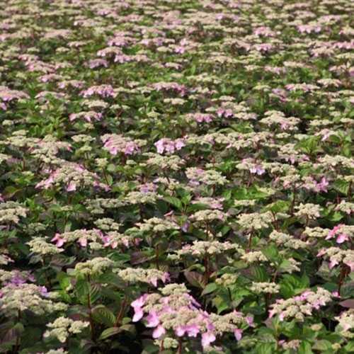 Hydrangea Macrophylla Endless Summer Twist and Shout